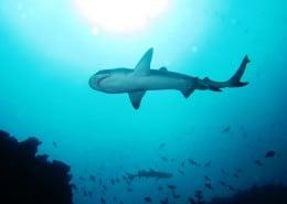 Weißspitzenhaie auf 18 Meter Tiefe