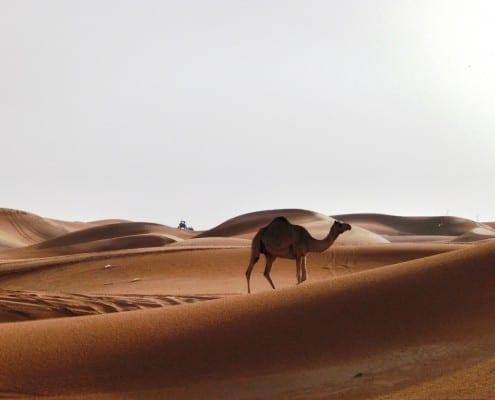 einsame Wüstenlandschaft in Dubai mit Kamel